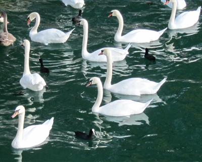 swans lake zurich