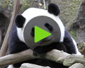 giant panda video San Diego Zoo