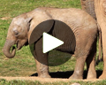 san diego zoo safari park video baby elephant