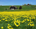 Emmental meadow