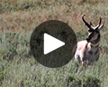 yellowstone pronghorn video